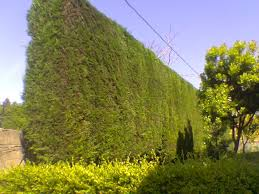Distancia legal de plantaci n de rboles for Arboles altos para jardin