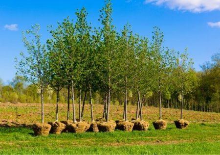 Distancia legal de plantación de árboles